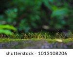 close up of green moss. ecology ... | Shutterstock . vector #1013108206