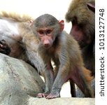 family of hamadryas baboons in... | Shutterstock . vector #1013127748