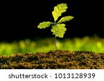 Stock photo small oak plant in the garden tree oak planted in the soil substrate seedlings or plants 1013128939