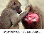 family of hamadryas baboons in... | Shutterstock . vector #1013130058