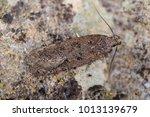 Bryotropha Terrella Moth In The ...