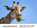 close up view of a giraffe's... | Shutterstock . vector #1013171179