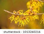 witch hazels  blossom in... | Shutterstock . vector #1013260216