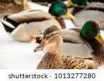 beak of a duck  the head of a... | Shutterstock . vector #1013277280