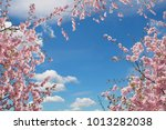 Blooming Cherry Trees At...