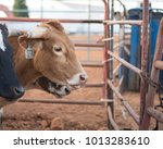 Portrait Of A Cow Or Steer Nea...