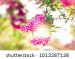 Blossoming Lilac Flowers And...