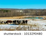 cattle in winter by pond | Shutterstock . vector #1013290480
