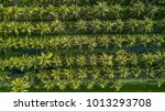 aerial view on plantation of... | Shutterstock . vector #1013293708