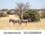 specular zebras  etosha ...   Shutterstock . vector #1013308009