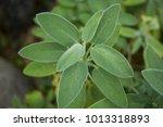 Salvia Officinalis Branch