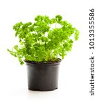 Curly  Parsley Herbs In Pot...