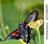 Small photo of exotic butterfly in natural habitat (papilio memnon agenor)