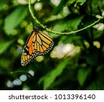 the monarch butterfly or simply ... | Shutterstock . vector #1013396140