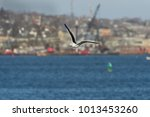 Small photo of Great Black-backed Gull in flight wings high against harbor and city background