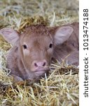 Small photo of A newborn calf lays in straw.