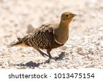 Small photo of One namaque sandgrouse walking from left to right on the white rocky veld in the Kgalagadi Transfrontier Park in South Africa