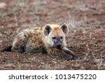 the spotted hyena  crocuta... | Shutterstock . vector #1013475220