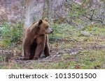 wild bear in the fagaras...   Shutterstock . vector #1013501500