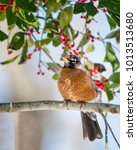 Small photo of American Robin Perched Amid Berries on Branch of American Holly Tree in Louisiana Winter