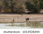 baboons at a pool in a national ... | Shutterstock . vector #1013528344