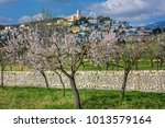 Almond Blossom In Village Selv...