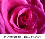 Stock photo beautiful pink rose texture closeup 1013591404