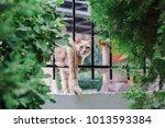 cat walks on the fence. cat... | Shutterstock . vector #1013593384