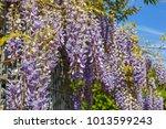 wisteria blossom above gabion... | Shutterstock . vector #1013599243