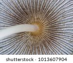 Small photo of Hare'sfoot Ink-Cap Fungus - Coprinus lagopus Detail of cap