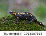 fire salamander  salamandra... | Shutterstock . vector #1013607916