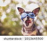 cute chihuahua sitting outside... | Shutterstock . vector #1013645500