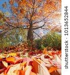 large orange tree full of... | Shutterstock . vector #1013652844