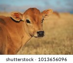 calf in the pasture | Shutterstock . vector #1013656096
