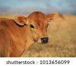 calf in the pasture   Shutterstock . vector #1013656099