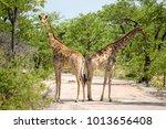 beautiful view two giraffes...   Shutterstock . vector #1013656408