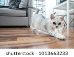 Stock photo funny british shorthair female kitten three months old black silver blue tabby whiskas cat is 1013663233