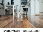 Stock photo cute british shorthair female kitten three months old black silver blue tabby whiskas cat is 1013663380