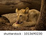 Lion Cub Chewing On Meat