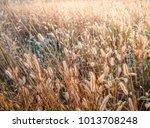 beautiful grass which has... | Shutterstock . vector #1013708248