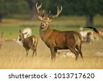 european red deer  cervus... | Shutterstock . vector #1013717620