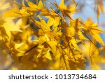 beautiful yellow maple leaf in... | Shutterstock . vector #1013734684