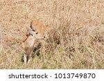 closeup of reedbuck  scientific ... | Shutterstock . vector #1013749870
