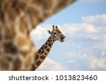 Close Up Of A Giraffe's Head...