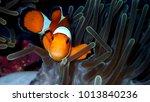Small photo of Sea anemone and clownfish or nemo