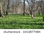 Small photo of Allium victorialis grows in the forest in spring