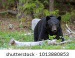stattilicher schwarzb  r im...   Shutterstock . vector #1013880853