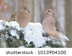 A Pair Of Winter Mourning Dove...
