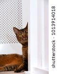Small photo of Cute playful wide-eyed part Abyssinian young male cat watches curiously