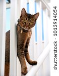 Small photo of Cute playful wide-eyed part Abyssinian young male cat peers through the banisters